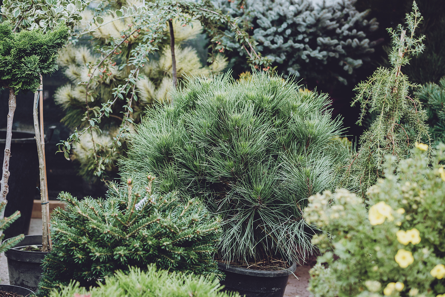 Plant quick growing conifers on your property to give your outdoor spaces privacy.