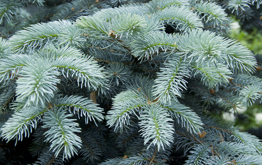 Blue spruce fungus may be on your trees.