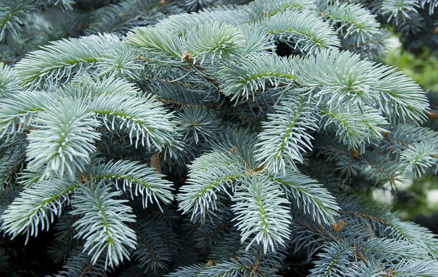 blue spruce fungus