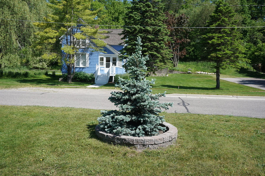 There are many things that can effect the growth and longevity of your spruce trees.
