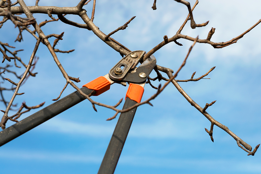 Winter is the best time to prune many types of trees.