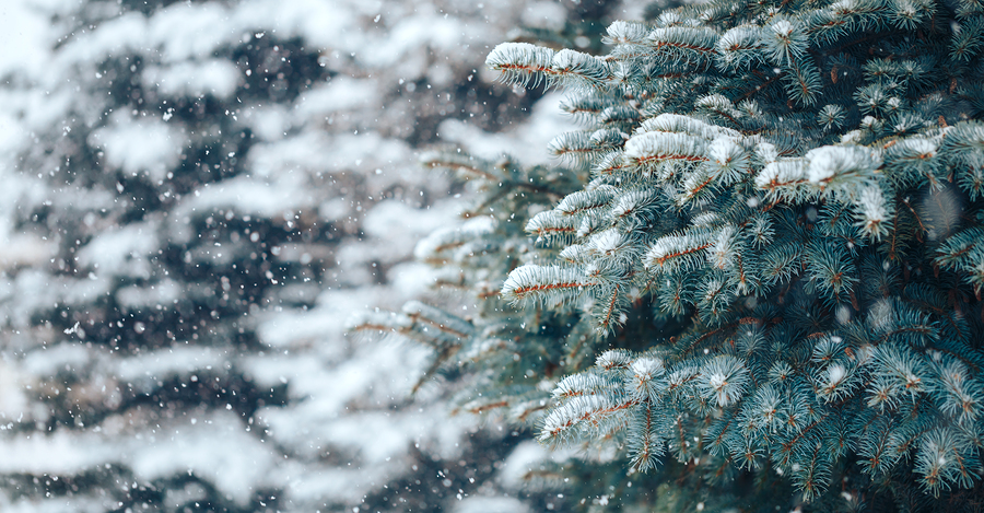 Fortunately, there are many things you can do to save your conifer trees.