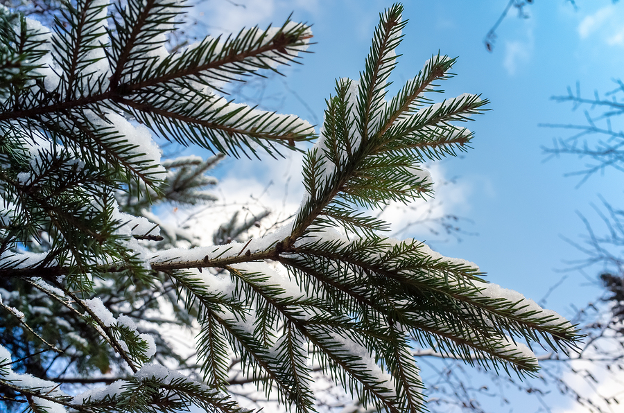 There are several conifer trees that thrive in Michigan's climate.