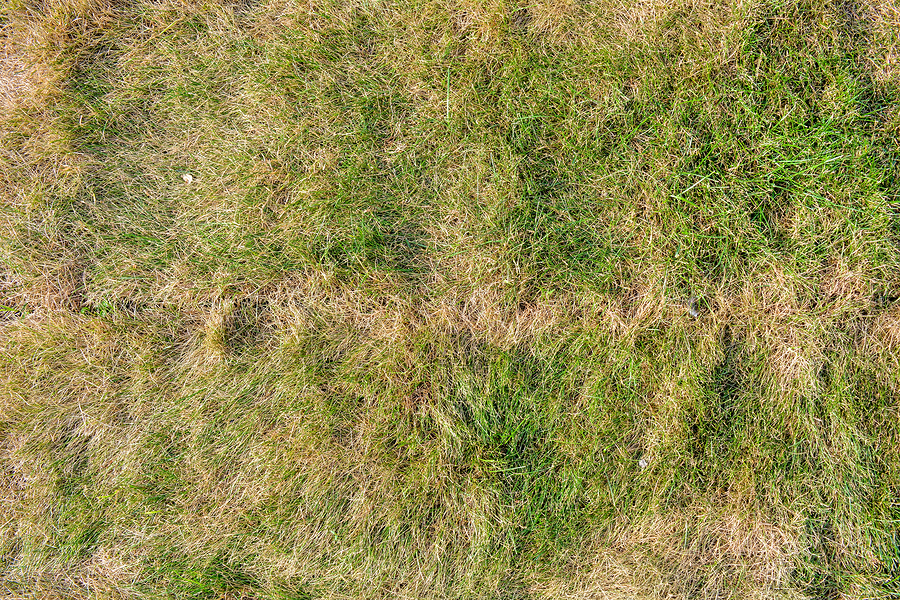 Picture of dead grass patches in a residential lawn.