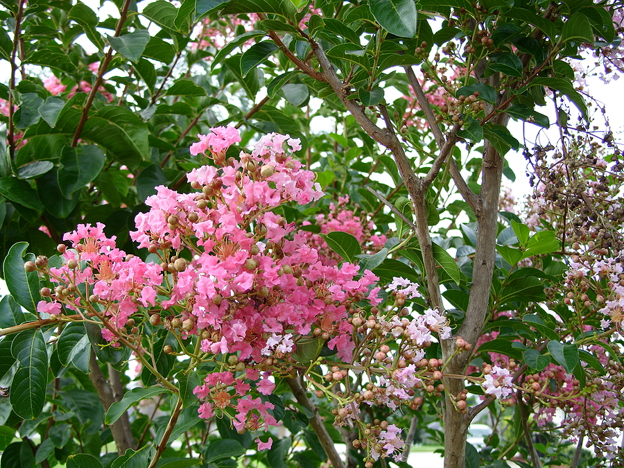 Image of pink crape myrtle tree in full bloom against a bright sky.