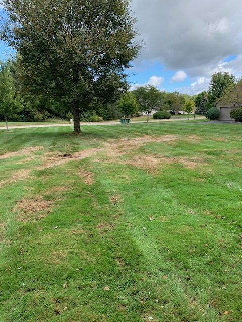 Lawn damaged by armyworms.